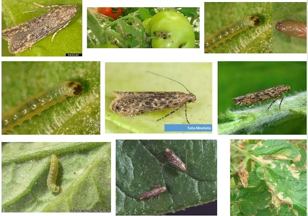 tuta absoluta damages from Google images