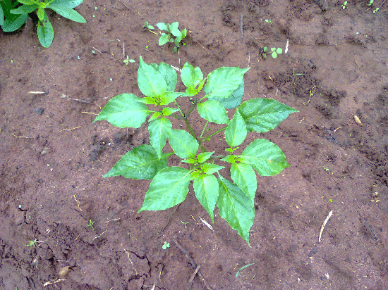 fruiting pepper seedlings