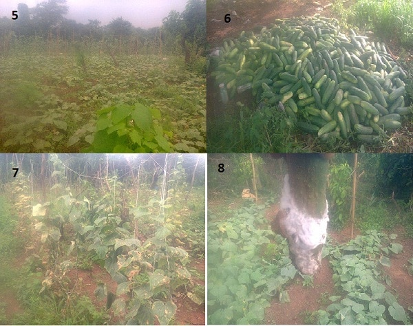 5. my second farm with a lot of un-trellised cucumber plant 6. Bountiful harvest of cucumber 7. Diseased plants in the second farm 8. Diseased cucumber fruit