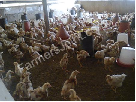 my-poultry-farm-2-chicks