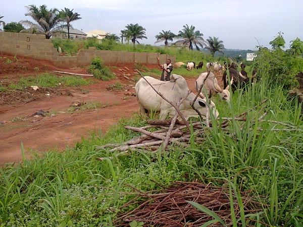 Cattle grazing close to farmlands