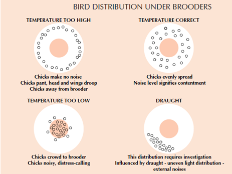 [Image: Chicks%20Distribution%20Under%20Brooder.png]